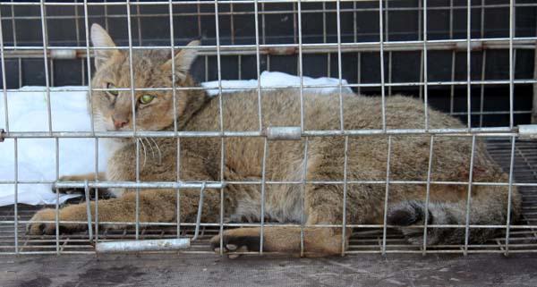 Nesli tükenmekte olan saz kedisini kurtarma operasyonu